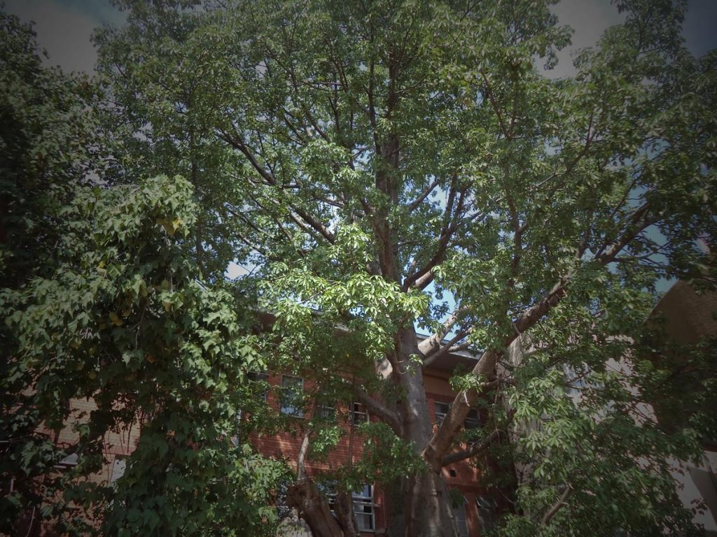 Looking up at the tall baobab in front of the police station.