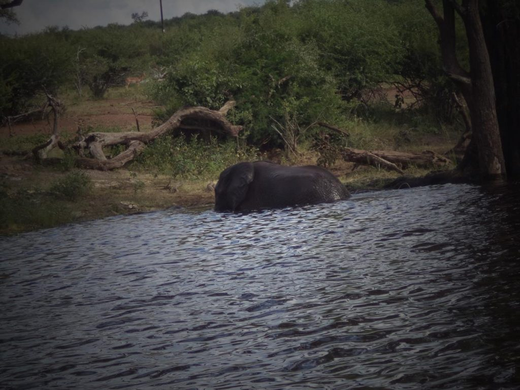An elephant sitting in the water near to the riverbank. Taken during an afternoon boat cruise through Chobe National Park on the Chobe River.