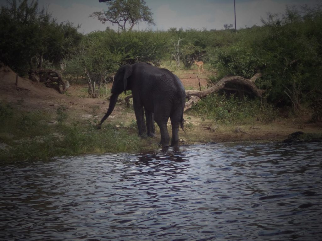 The elephant now standing and walking out of the river.