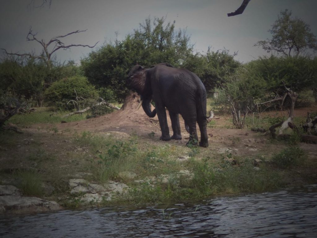 Slightly closer view of the elephant heading away from the river. The surrounding landscape is a mix of grass, bushes and trees.