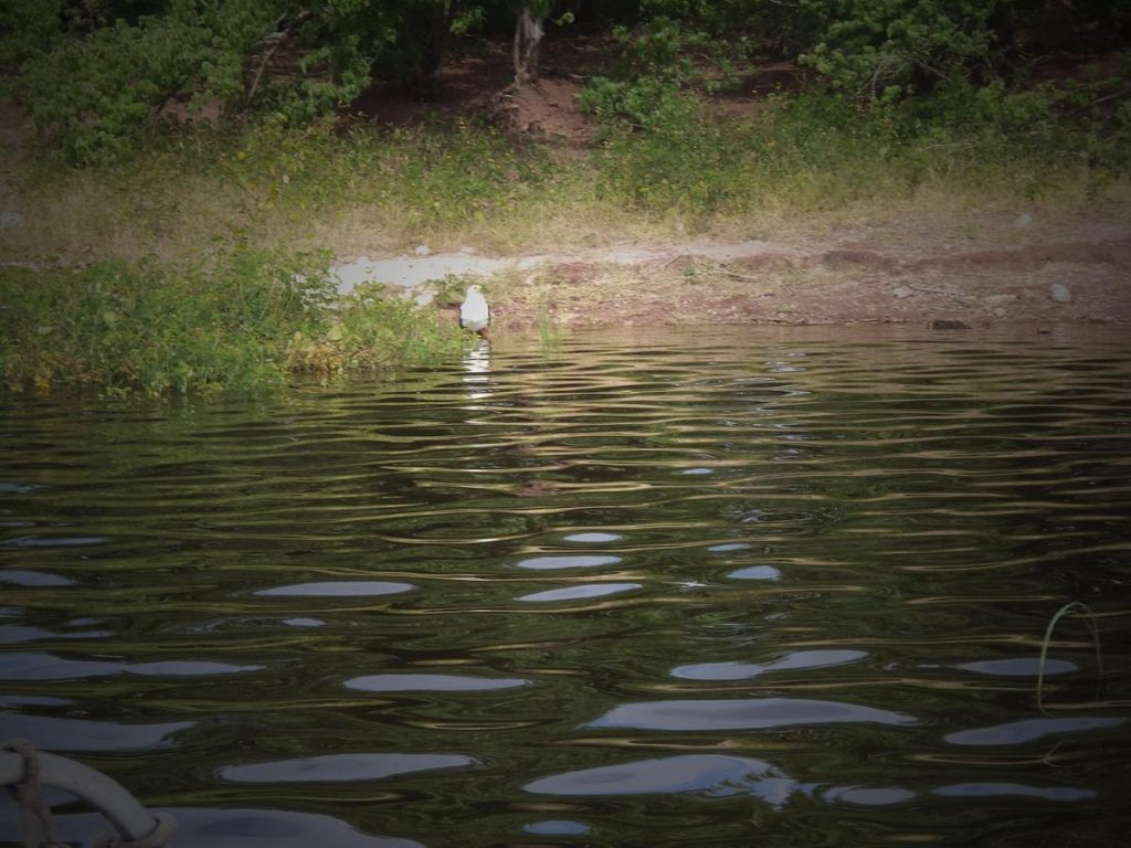 A medium-sized bird standing in shallow water at the river's edge. It has a white head and breast. Its back appears to be brown, but this is mostly out of view. This seems to be an African fish eagle.