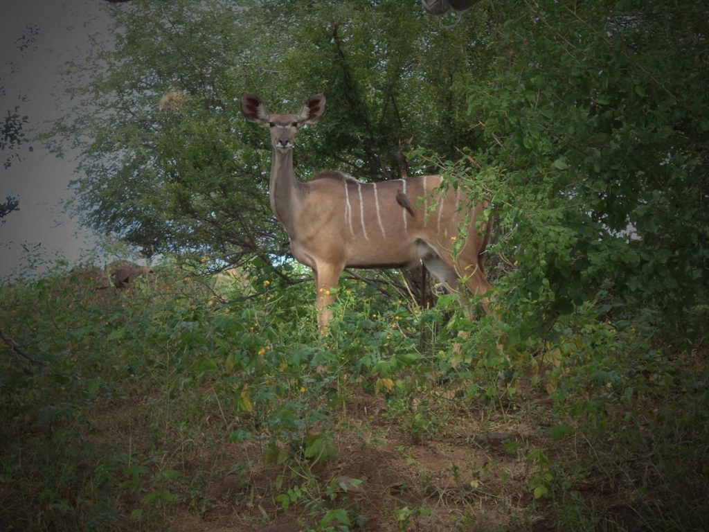 A female nyala looking directly towards the camera from amongst vegetation on the river bank. A small bird sitting on its back. Nyala are a type of antelope found in southern Africa. In colour it is pale brown with white stripes across its back. The males have large horns. The bird sitting on its back eat the insects.