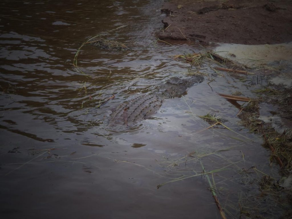 The head and back of the crocodile now visible in shallow water close to the river bank.