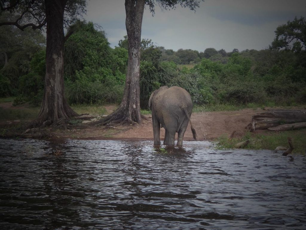 An elephant shaking water off its body while standing in shallow water.