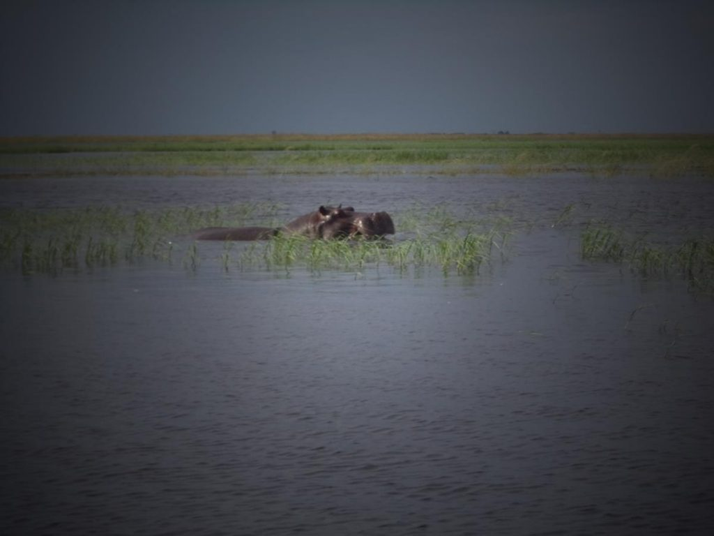 A pair of hippos basking amongst reeds. In the background an expanse of marsh.