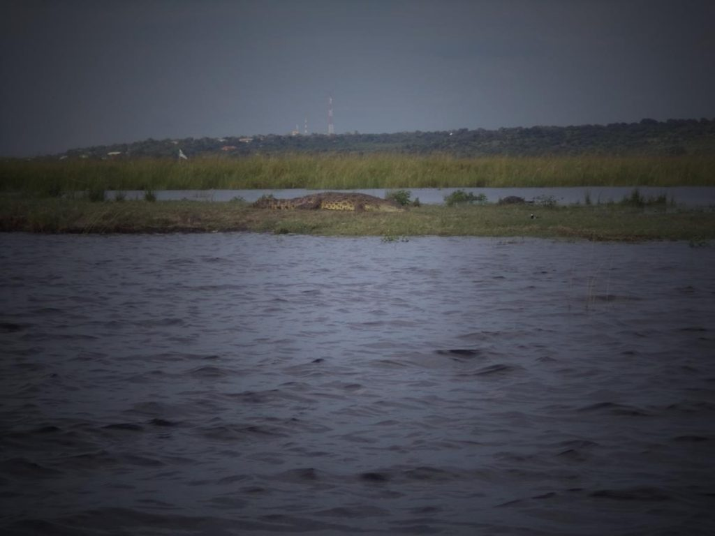 A large crocodile on a grassy bank in the middle of the river.