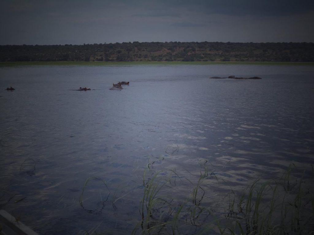 A group of about six hippos a little way distant, mostly submerged in the water.