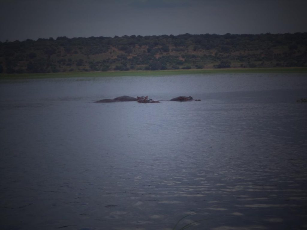 A closer view of some of the part submerged hippos.