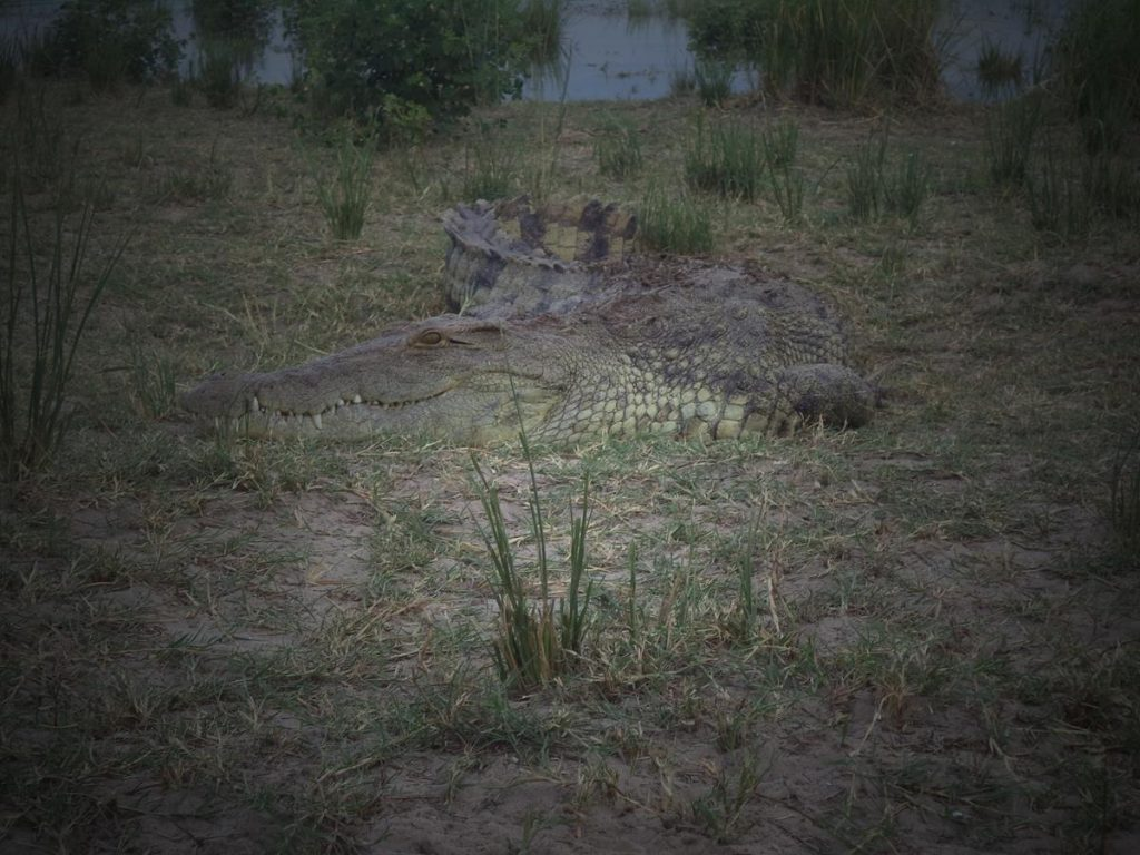 Another crocodile on grass at the side of the river. A good view of its head.
