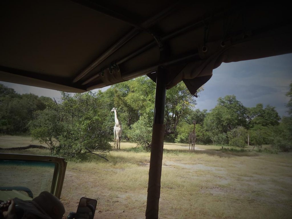 In a safari vehicle looking at a pair of giraffes. They are in a bush or savanna landscape of grass with dispersed bushes and trees. During a safari drive and walk in Mosi Oa Tunya National Park, Zambia.