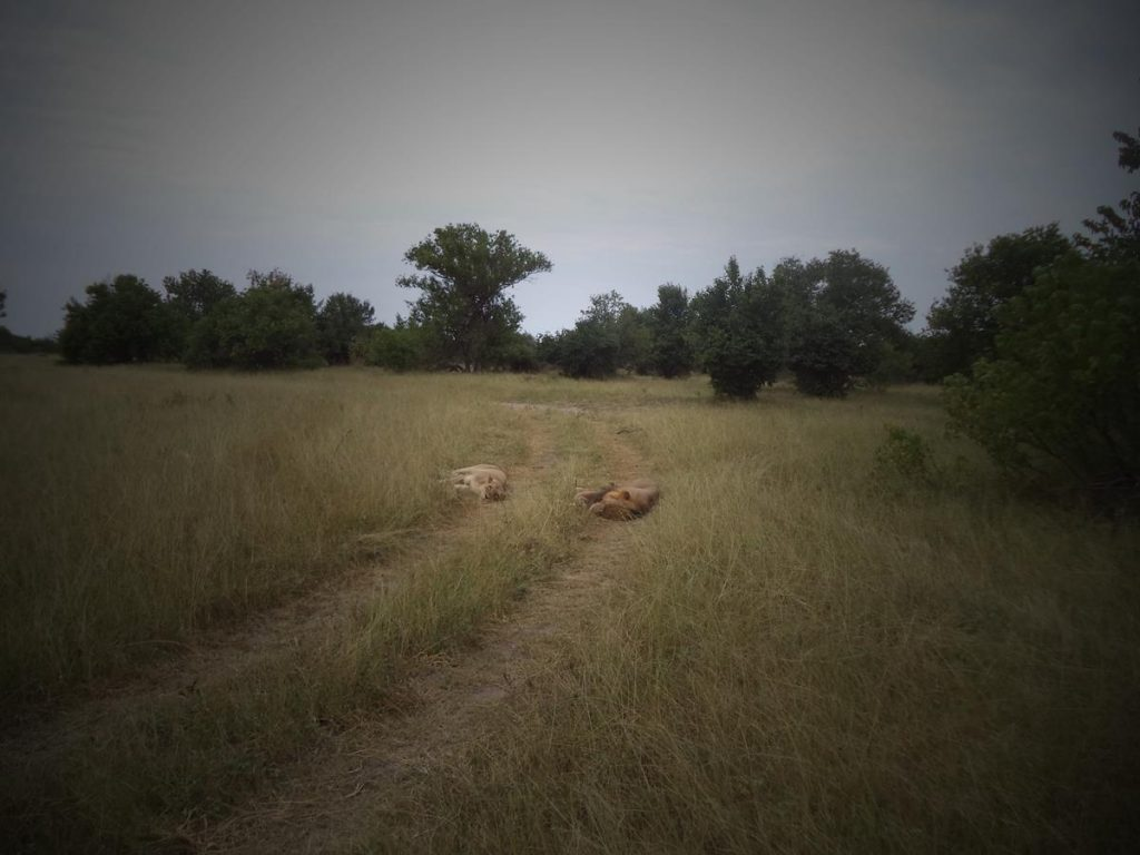 The safari vehicle approaching a pair of lions, a male and female, both asleep on a grassy vehicle track through the bush.