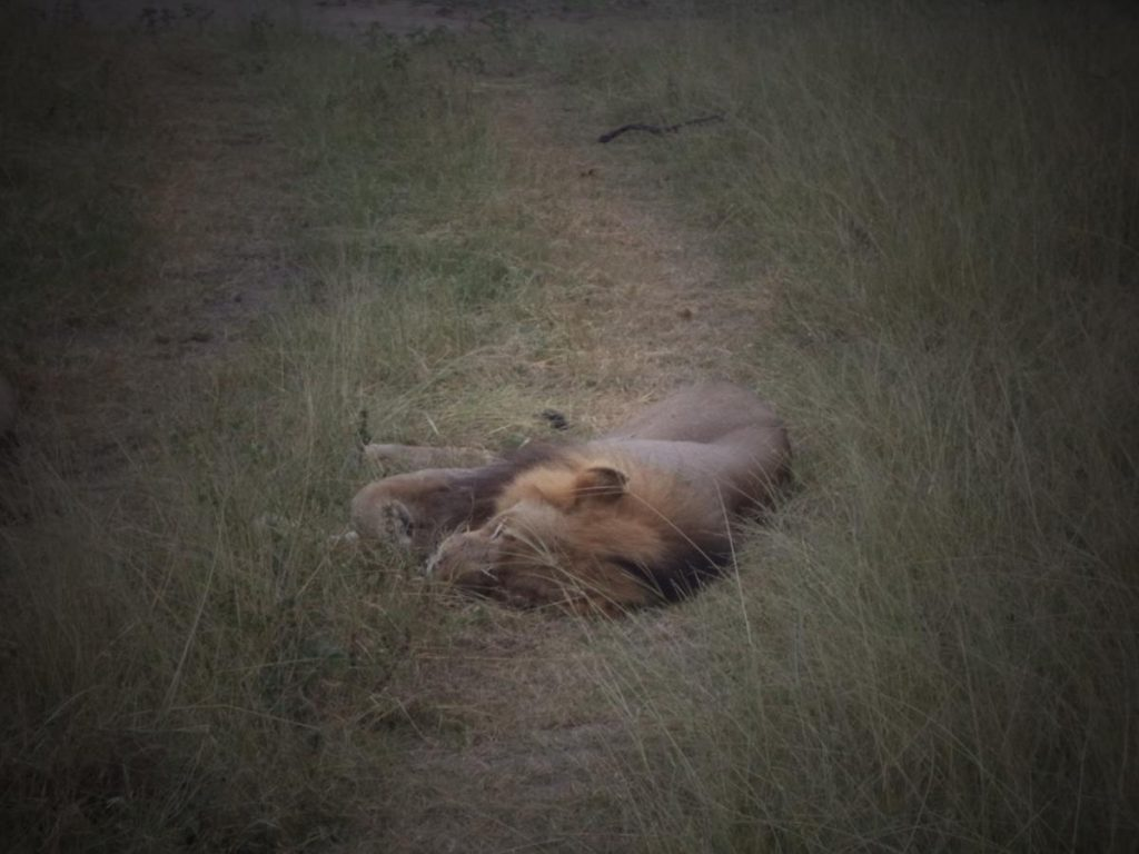 Closer view of the sleeping male lion.