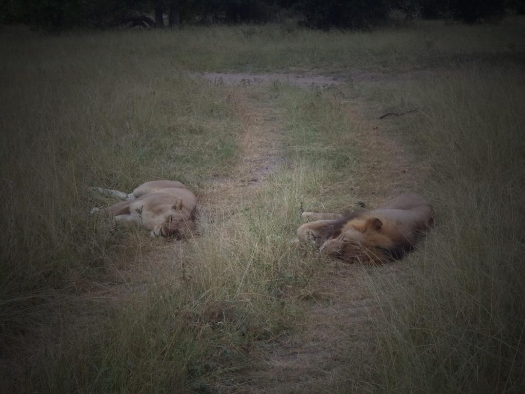 Again the male and female lions asleep about a metre apart from each other.