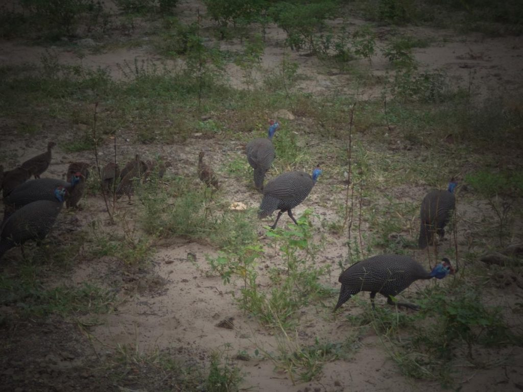 A group of helmeted guinea fowl pecking in an area of sandy soil with small grassy and scrub-like plants. The guinea fowl have large rounded bodies and small heads. Their feathered bodies are grey-black in colour with speckles of white, while their heads are featherless with the skin distinctively coloured in predominantly blue and topped with a red coloured knob of bone.