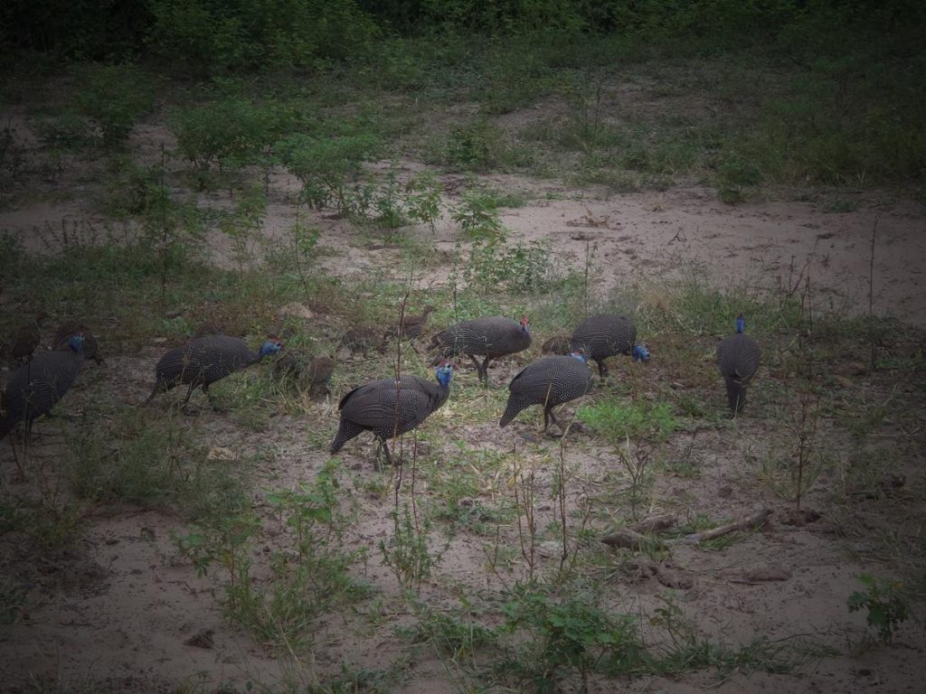 Again the helmeted guinea fowl: a group of seven adults and several young birds.