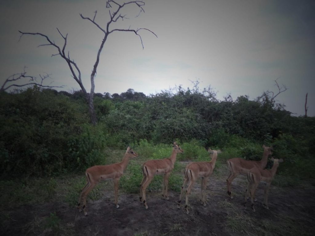 A group of five female impala standing in the bush close by. They are facing away from the camera showing the distinctive pair of black stripes that run from the top of their hind legs to the top of their buttocks.