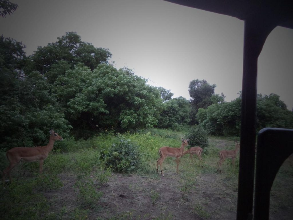The same impala now grazing close to the safari vehicle.