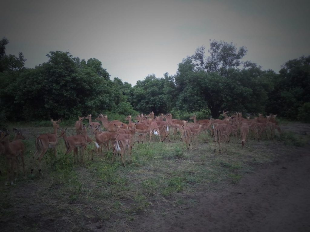 A larger group of at least 25 female impala. They are grazing on grass in the foreground with denser vegetation of trees and scrubs beyond.